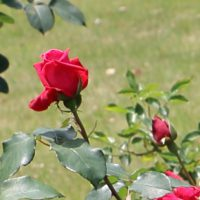 エナハークネスは四季咲きです