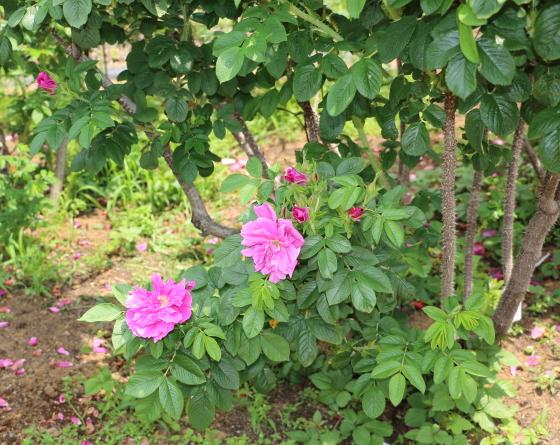 レディダンカンは一季咲きです