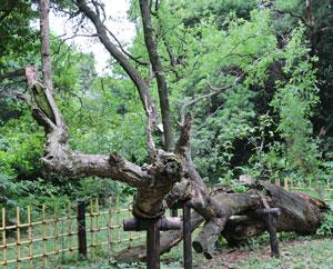 サネブトナツメの原木