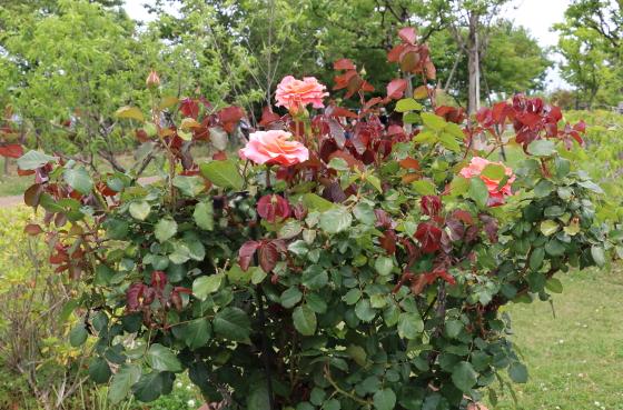 タイフーンは四季咲き