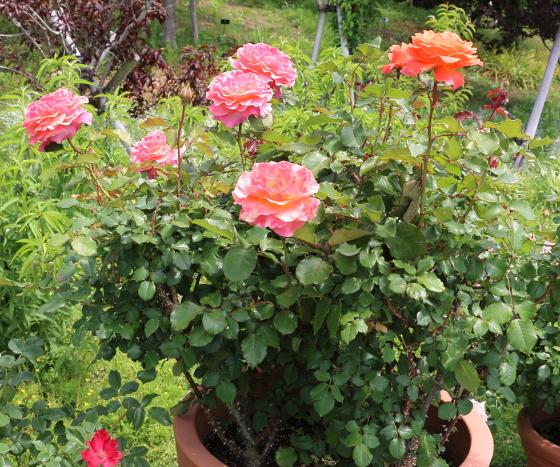 堆肥ーんは大輪サイズのバラ