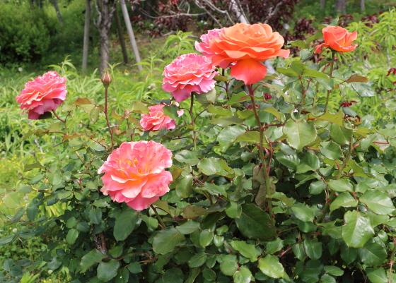タイフーンは四季咲き性です