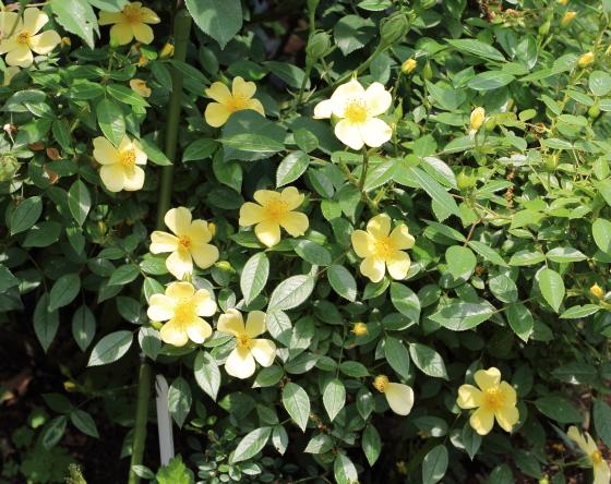 ミニライツは四季咲き性です