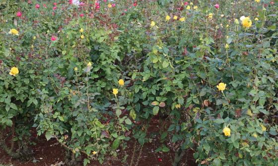 サンガッデムは黄色の大輪花
