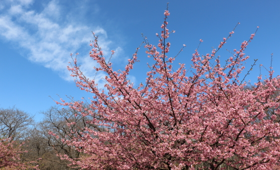 河津桜が満開です