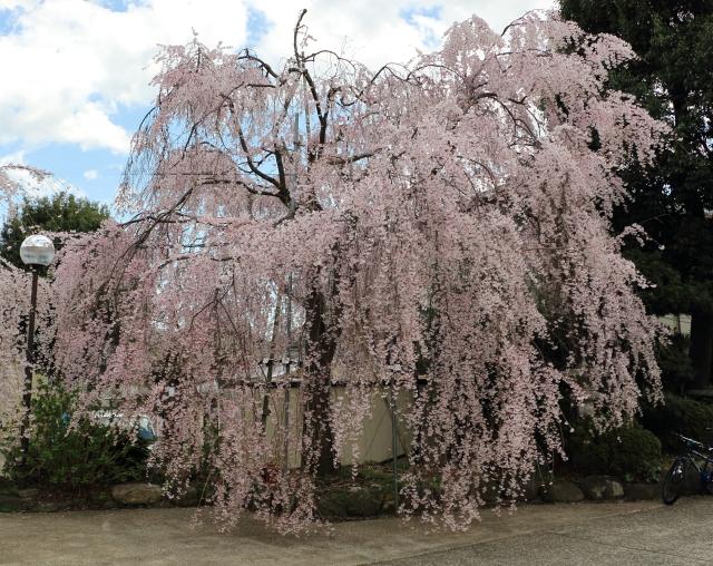 妙法寺の枝垂れ桜