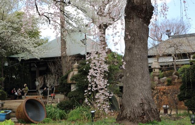 妙法寺の樹高15m以上の桜