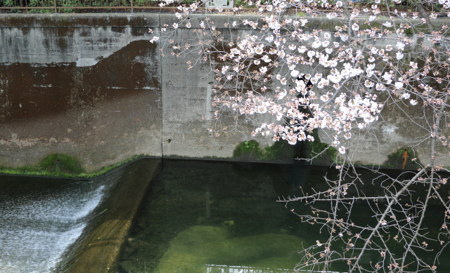 仙川に沿って咲く桜