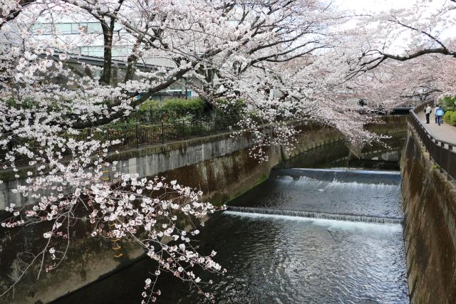 仙川に映る桜