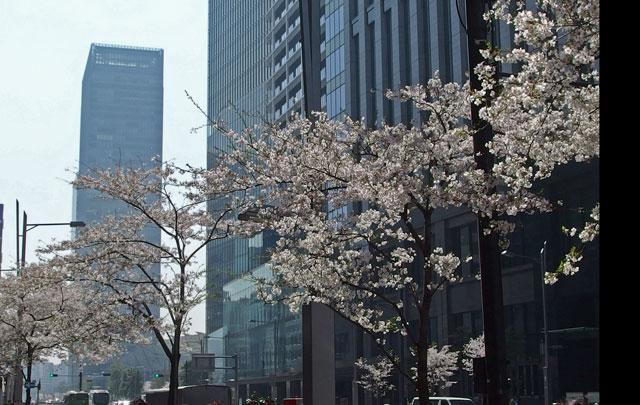 東京駅前の桜通り