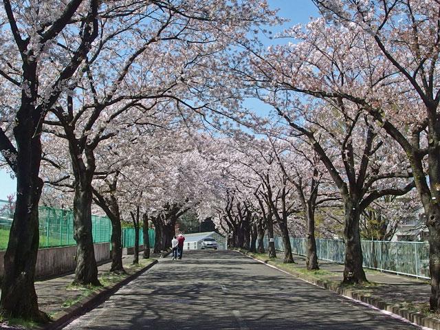坂道の両側は桜満開です