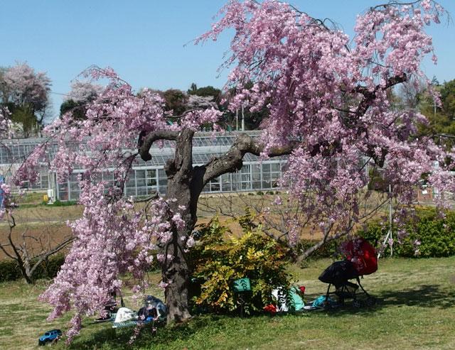 フルーツパークの桜が満開です