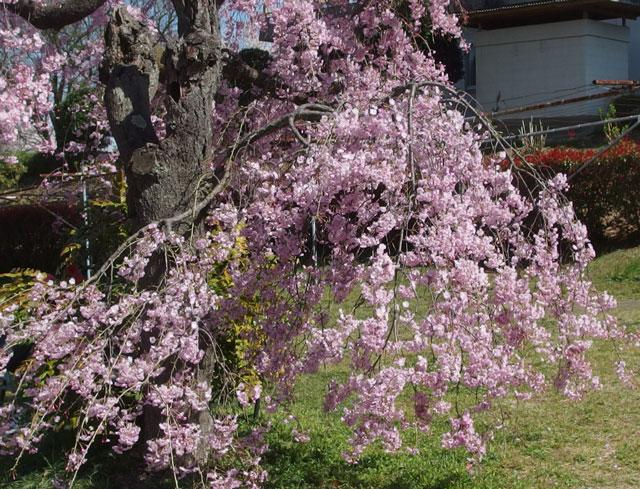 フルーツパークの枝垂桜です
