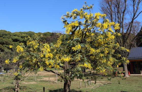 黄色の花を咲かせる樹木