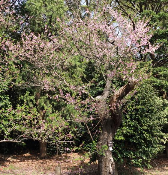 アーモンドは落葉小高木です