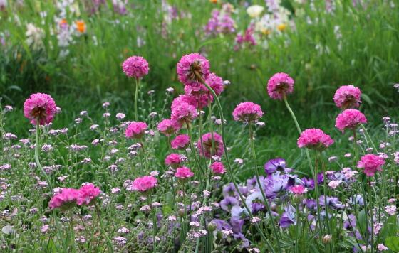 アルメリアはイソマツ科の草花です