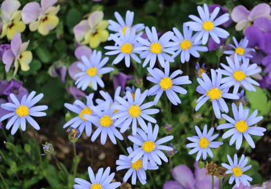 ブルーデージーは青色の花