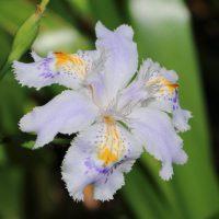 シャガはアヤメ科の花