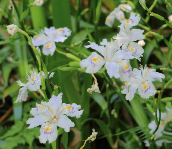 シャガは白紫色の花