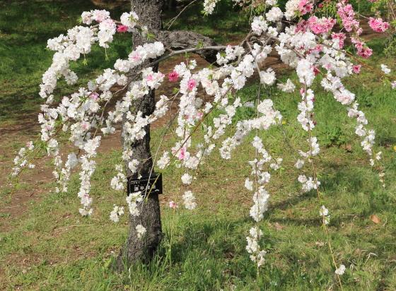 源平枝垂れはモモの園芸品種