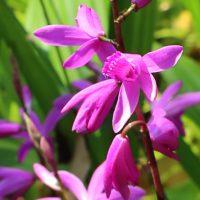シランは紫色の花
