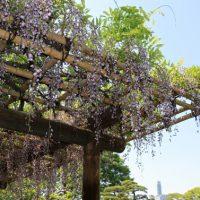 東御苑の藤の花
