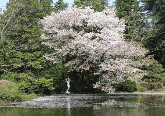 池には花筏ができている
