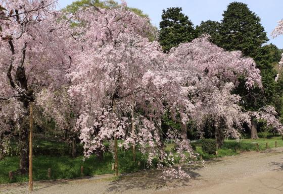 今が見頃の桜