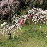 桃の花も咲いていた