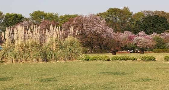 大広場の桜とススキ