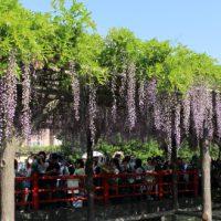 亀戸天神社の藤の花 見事です