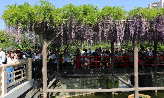 亀戸天神社の藤の花
