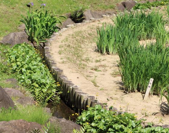 皇居東御苑 アヤメの苗が植えつけてある