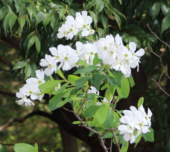 リキュウバイはバラ科の花木