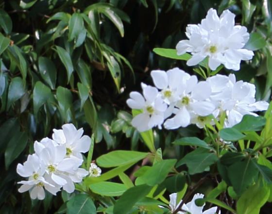 開花期は4~5月です