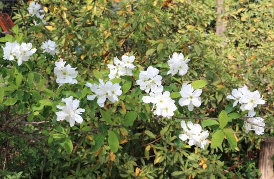 リキュウバイは白色の花を咲かせる