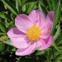 シャクヤクはボタン科の花です