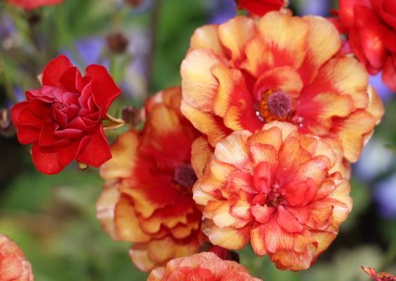 ラナンキュラスは薄い花びらを重ねて咲く