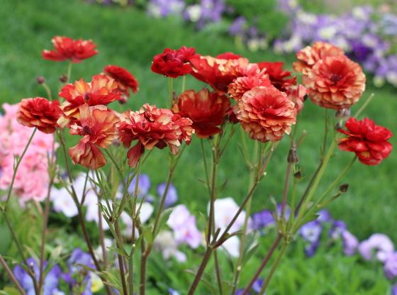 ラナンキュラスはキンポウゲ科の草花