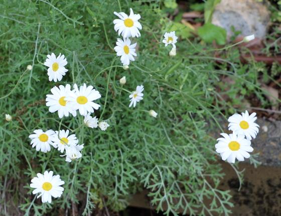 白色の花を咲かせる