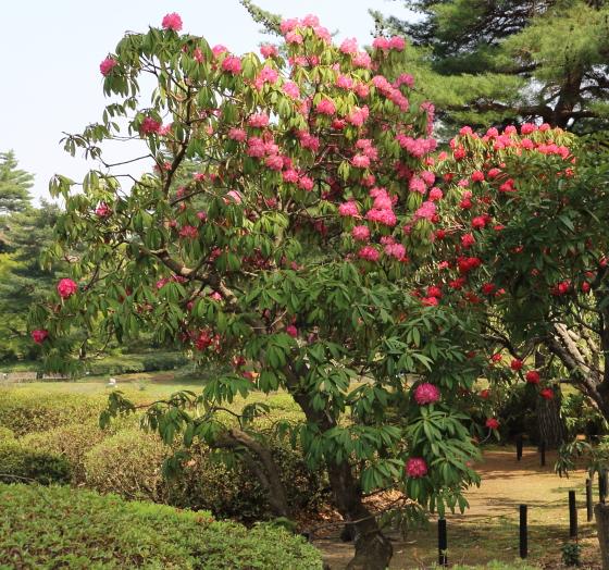 シャクナゲはヒマラヤ周辺原産