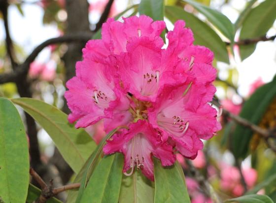 ツツジ科ツツジ属の花木