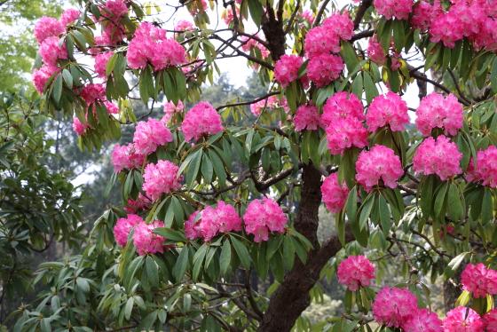 桜狩は常緑広葉中木です