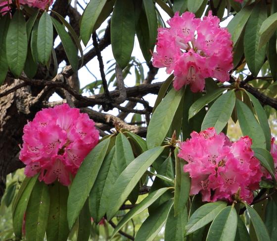 シャクナゲは4月に開花する