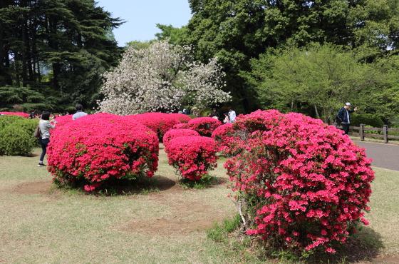 ツツジの花は原色が多い
