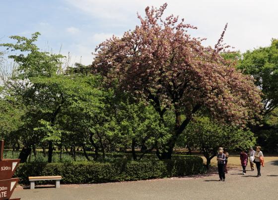 八重桜が咲いている