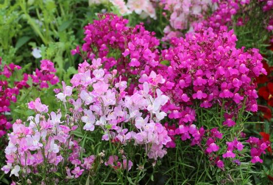 キンギョソウは花色が豊富