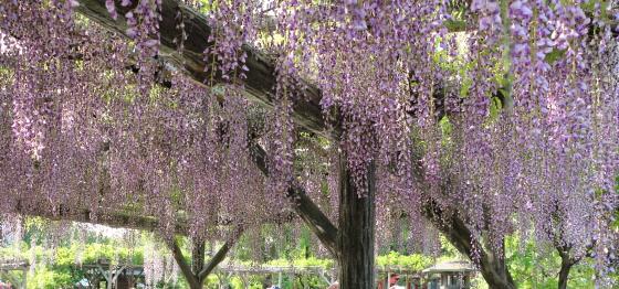 藤の花も満開が近い