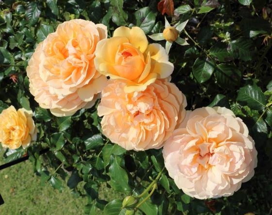 アンゲリカはオレンジ色のバラ
