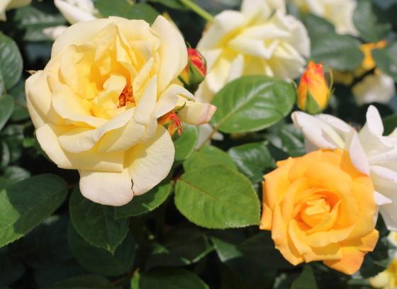 アーサーベルは四季咲きです